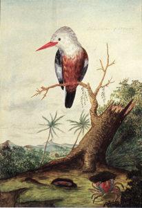 Halcyon leucocephala acteon