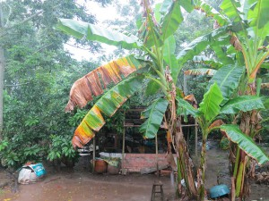 Les bananiers d'un jardin vietnamien après la pluie. Crédit : François Guillemot