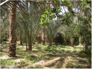 Exploitation spécialisée dans la monoculture de Deglet Nour à Tozeur. © Irène Carpentier.