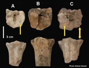Figure 4 – Pathologies consécutives à la mise au travail des bovins sur les métatarses. A Cafer Höyük (PPNB moyen), B Tell Mureybet (PPNA), C Tell Aswad (PPNB moyen). Les flèches simples montrent les débuts d'éparvin (début de fusion du métatarse avec le grand cunéiforme), la flèche double l'écrasement de la surface articulaire.