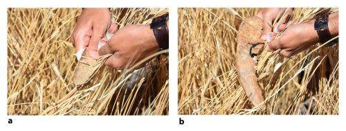 Fig. 4 : Moisson de céréales domestiques (T. Monococcum) en coupe haute, à environ 30 centimètres sous les épis les plus hauts, à l'aide d'une côte de bœuf (a) et d'une mandibule de bœuf (b). Clichés : M. Al-Najjar.