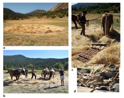 Fig. 6 : Traitement de la récolte (battage) : dépiquage du blé récolté et hachage des tiges. (a) Gerbes de blé disposées sur l'aire de battage circulaire en terre en une couche épaisse. (b et c) Traction du tribulum et foulage par les chevaux sur les tiges permettant le dépiquage des grains et le hachage de la paille. (d) Détail d'une lame du tribulum après utilisation. Clichés : F. Pichon, M. Al-Najjar et S. Negroni.
