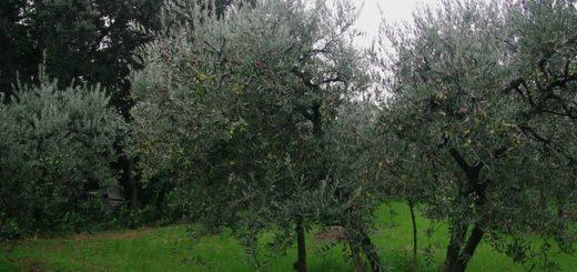 Les oliviers par genevieveromier. 15 novembre 2009. CC by 2.00