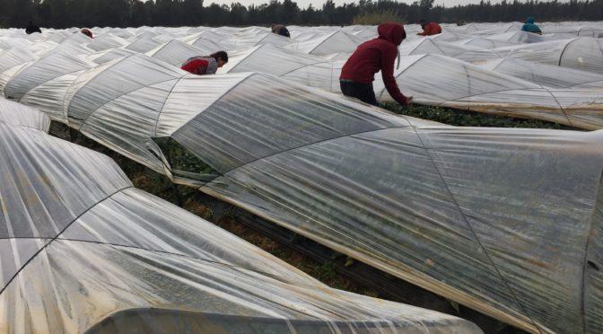 Travail dans un champ de fraises Akkar, 2018 © M.Scala