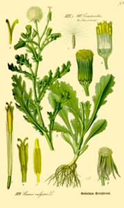 Figure 1. Groundsel (Senecio vulgaris) image from Wikipedia
