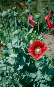 Poppy (Papaver somniferum)