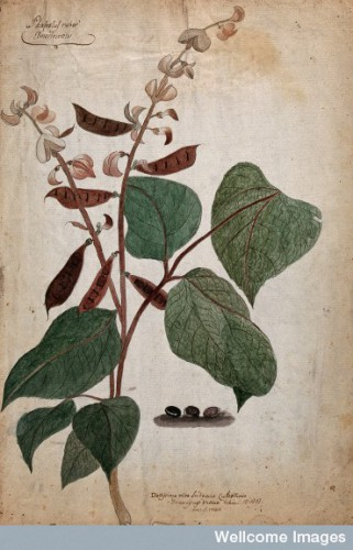Bean plant (Phaseolus species): flowering and fruiting stem Credit: Wellcome Library, London.