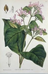 Quinine Plant Wellcome Images