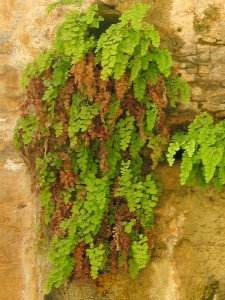 Maidenhair. Source: Wikipedia