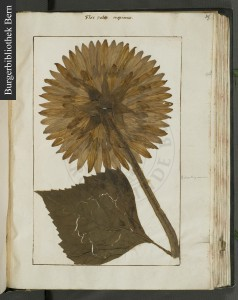 A re-created sunflower, using real sunflower leaves in a herbarium of Felix Platter. Burgerbibliothek Bern, ES 70.6, fol. 155.