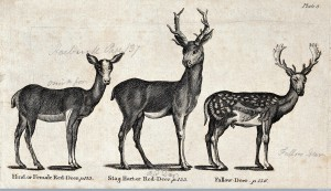 A hind and a stag of the family of Red-Deer and a Fallow-deer, Wood Engraving after Thomas Bewick. Image Credit: Wellcome Library, London.