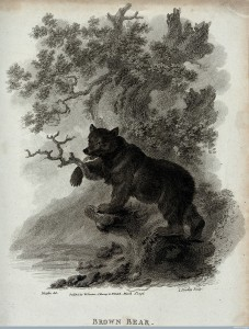 Brown Bear, Etching by James Tookey after Julius Caesar Ibbetson, 1796 Image Credit: Wellcome Library