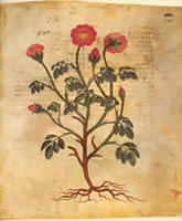 A rose as illustrated in the Anicia Dioscorides, a 6th century copy of an ancient pharmacy manual. Source: http://exhibits.hsl.virginia.edu/herbs/vienna-disocorides/