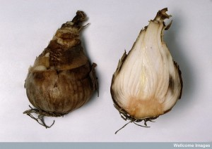 Bulb of Narcissus species (Daffodil)  Credit: Royal Botanic Gardens Kew. Wellcome Images