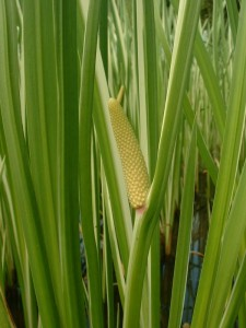 Common calamus. Source: Wikipedia.