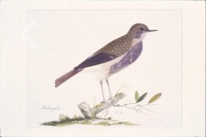 Pieter Holsteyn I, Nightingale, crayon and gouache on paper, ca. 1656-1667.