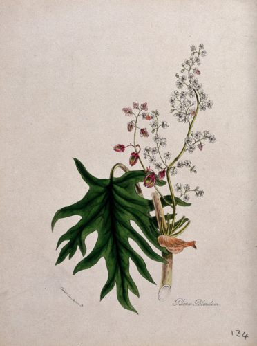 Figure 1. Chinese or Turkish rhubarb (Rheum palmatum): flowering and fruiting stem with leaf. Coloured zincograph after M. A. Burnett, c. 1842. Credit: Wellcome Collection, https://wellcomecollection.org/works/cvty3qqk
