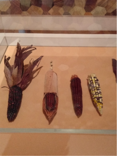 Fig. 4. Different varieties of heirloom corn. Image credit: Catherine Price.