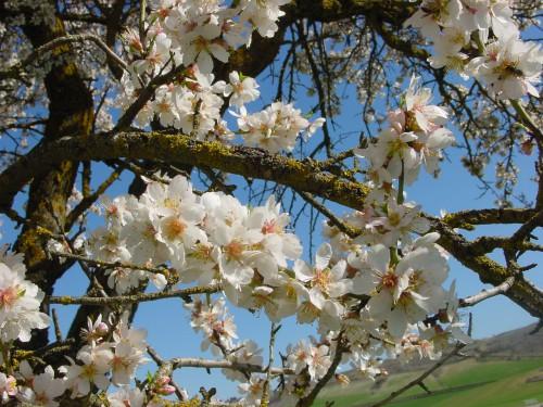 amandier en fleur, cliché N. Perez (wikicommons)